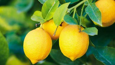 Photo of 12 Amazing Health Benefits of Lemon